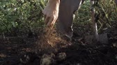crescido : A man is harvesting potatoes. Potatoes in the ground. Growing potatoes. A man digs up potatoes with a spade. Stock Footage