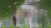 feathering : Purple Heron (Ardea purpurea) Stock Footage