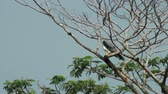 adapted : Black Shouldered Kite Feeding 02