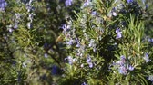 rosmarinus : bee flying near to a rosemary bush Stock Footage