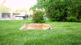 палка : playing corgi dog on a green lawn