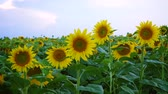 tranquility : view of evening field with blooming sunflowers