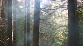 Smoke from a camp fire rises through the forest pine trees