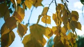 gałązka : autumn birch leaves on a wind close up slow motion video