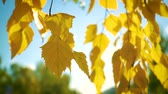 gold coloured : autumn birch leaves on a wind close up slow motion video