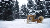 лиса : corgi fluffy lying on a snow during the snowfall