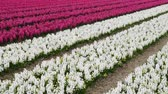 white narcissus : spring flower field at the Netherlands Stock Footage