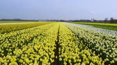 narcissus : spring flower field at the Netherlands Stock Footage