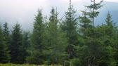 carpathians : fog at the pine forest at the mountains Stock Footage