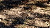 питание : Cliff chipmunk forages for food in dappled sunlight.