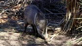 snout : Javelina forages for food with its snout