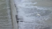 decoy : The egret is going against the current silently waiting for a weakened fish from upstream at concrete check dam. (HD footage with sound)