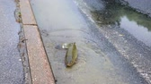 flooded road : Helpless fish on street after flooding calm down
