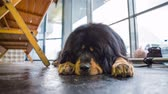 gasping : Tibetan mastif dog resting. Low angle shot of big black long hair dog lying on cold floor in a hall having a rest. Stock Footage