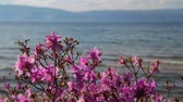 blossom : rhododendron in the background of lake Baikal and the mountains Stock Footage