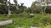 pole : buffaloes grazing in a field in malaysia