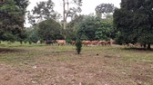 pastvisko : A group of cows in the field in Malaysia, south east asia