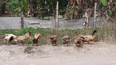 aves : a flock of duck cleaning themselves. photo taken in Malaysia