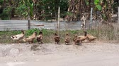 белый : a flock of duck cleaning themselves. photo taken in Malaysia