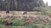 pastvisko : A group of cows near a river  in Malaysia, south east asia. In the rural area Dostupné videozáznamy