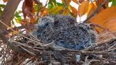 pintos : greater coucal (crow pheasant ,Centropus sinensis) chicks in their nest in kluang johor malaysia Vídeos