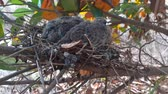 rendelés : greater coucal (crow pheasant ,Centropus sinensis) chicks in their nest in kluang johor malaysia Stock mozgókép