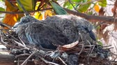 greater coucal (crow pheasant ,Centropus sinensis) chicks in their nest in kluang johor malaysia Stok Video