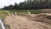 krev : a flock of goose on a road in malaysia