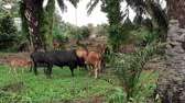 pastvisko : A group of cows in the field in Malaysia, south east asia. in palm oil plantation group of cows in the field