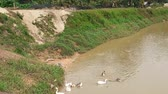 yüzme : a flock of goose bathing in the river in the morning in malaysia