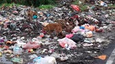 Two dogs scavenging at illegal garbage dump site in kluang, johor, malaysia Stok Video