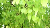 bo : green leafs of bo tree blowing by the wind with audio Stok Video