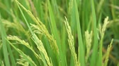 harvest : rice field and grain with wind blowing, selective focus Stock Footage