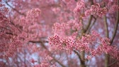 himalaia : Prunus cerasoides pink flower and branch blowing by wind