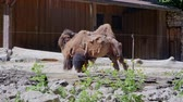 caravan of camels : Camels in Zoo Camels in Zoo