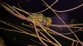 脊椎動物 : Pygmy marmosets, small species of New World monkey 動画素材
