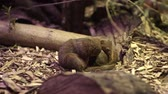 Крюгер : The common dwarf mongoose Helogale parvula Стоковые видеозаписи