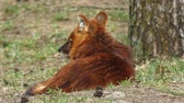 тварь : A pack of indian dholes playing inside Pench national park during wildlife safari Стоковые видеозаписи