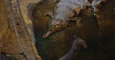 捕食性の : False gharial or Malayan gharial, Sunda gharial or Tomistoma