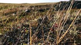 verão : Dry grass in arctic tundra blown with the wind