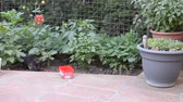 punci : Black kitty is carefully approaching to the plastic box with milk or water in a garden and starts to drink from it