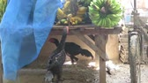 banány : Two plucked chicken stealing pieces of banana from a wooden table -  fixed camera closeup view