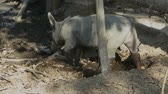 새끼 돼지 : Little pig looking for food on a dirty and muddy ground -  slow moving camera closeup view 무비클립
