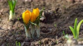 szafran : first yellow crocus flowers, spring saffron