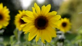 gomos : Yellow sunflower in an agricultural field in summer. Sunflower in the morning sun in a park.