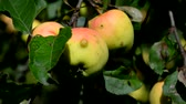 witaminy : Ripe apples on a branch. Ripe apples on the ground. Apples