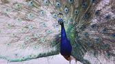 Footage of Peacock Stock Footage