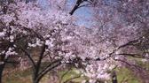 flowering : Cherry Tree Aerial Zoom Stock Footage
