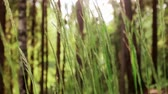 биологический : Green grass wave on wind. Forest. Summer day. Close up focus in