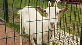 View of white goat in aviary behind the green fence. Zoo. Animals. Summer day Stok Video